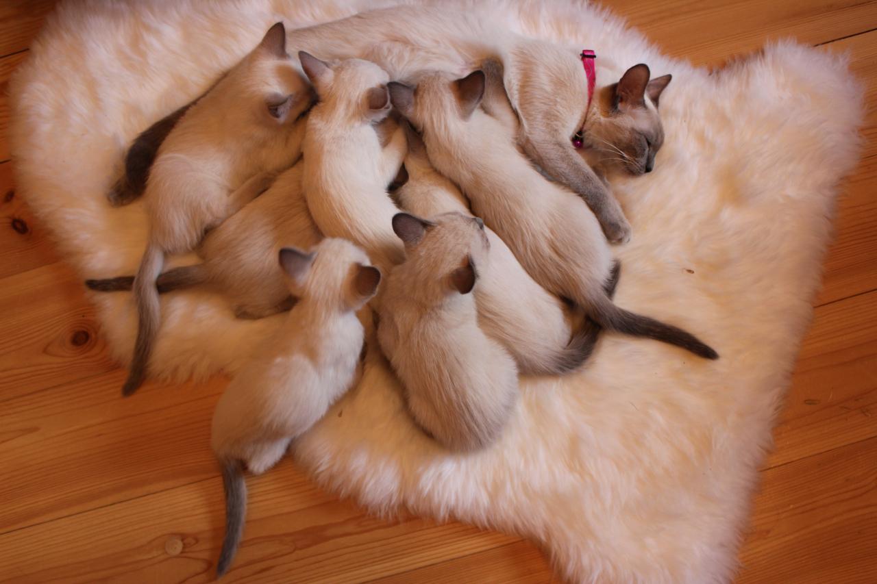 ICH Anette Blue Ice Vongrat ar saviem septiņiem mazuļiem.