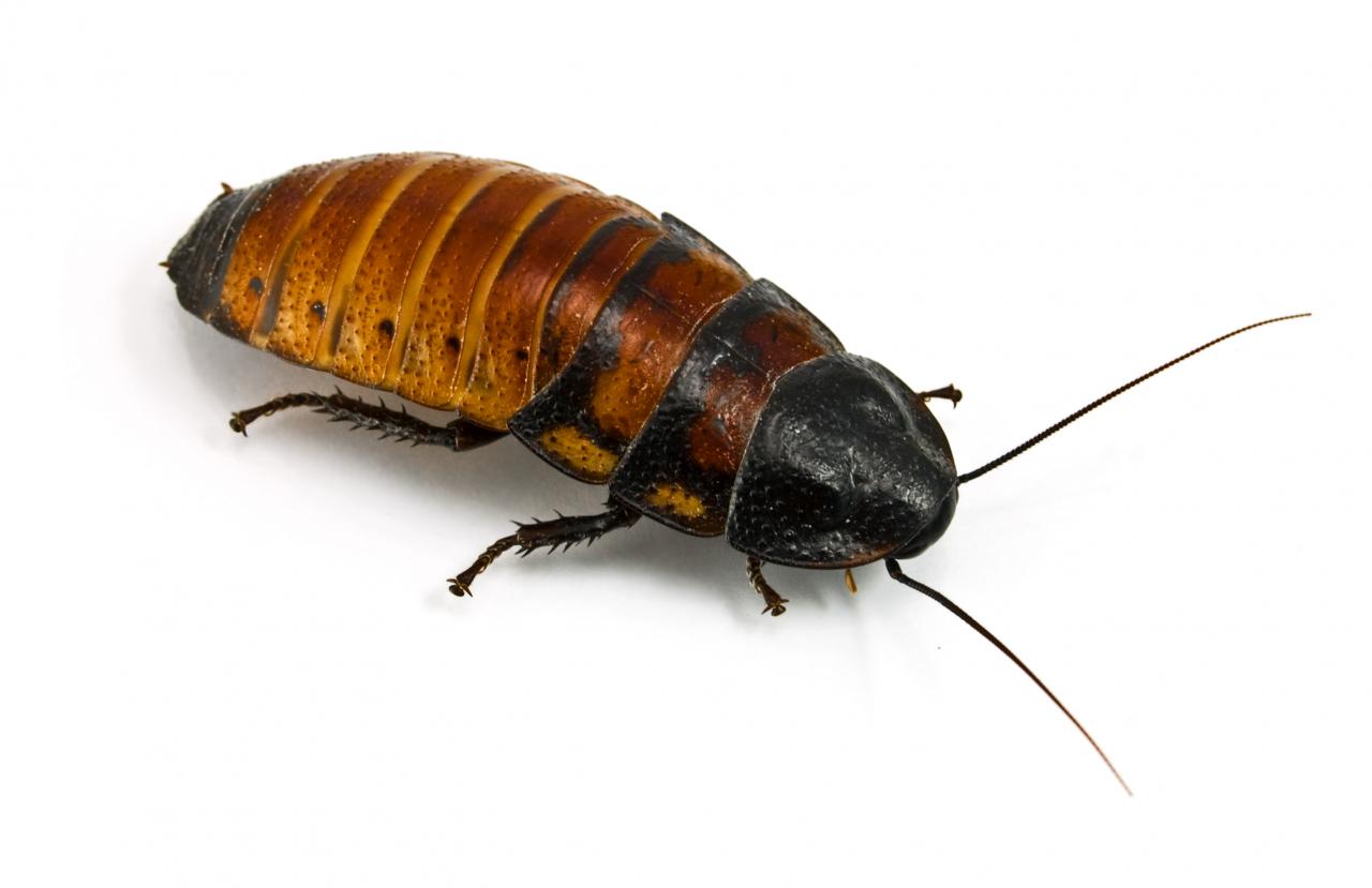 Prusaki ir ļoti klusi mājdzīvnieki. Reizēm tik var dzirdēt kājiņu skrapstoņu gar terārija sienām vai madagaskariešu šņākšanu.