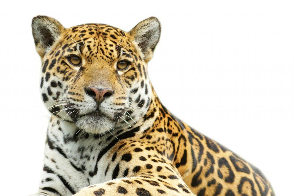 Plēsējiem, tādiem kā leopards, acis izvietotas priekšā, lai viņi labāk spētu saskatīt medījumu.