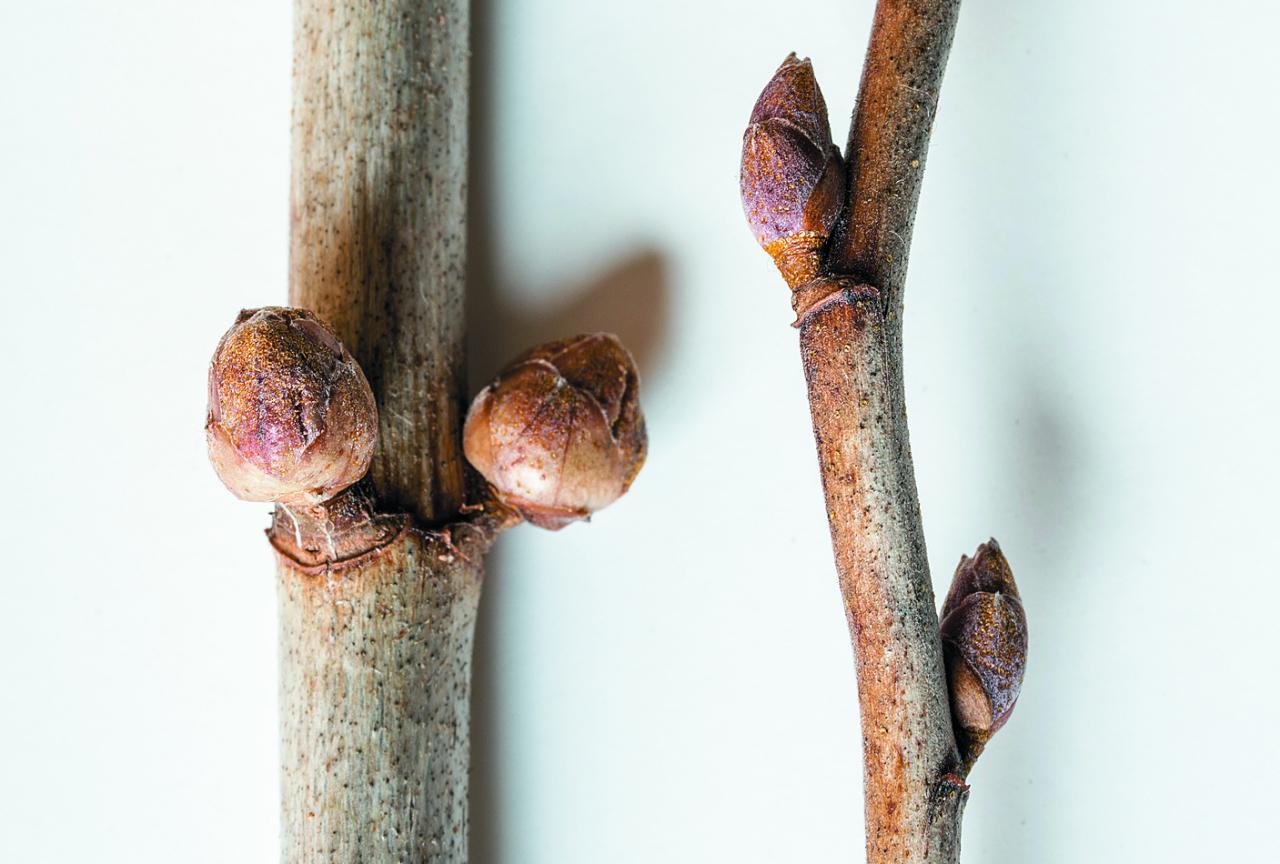 Pumpuri, kuros dzīvo ērcīte, izskatās tā.