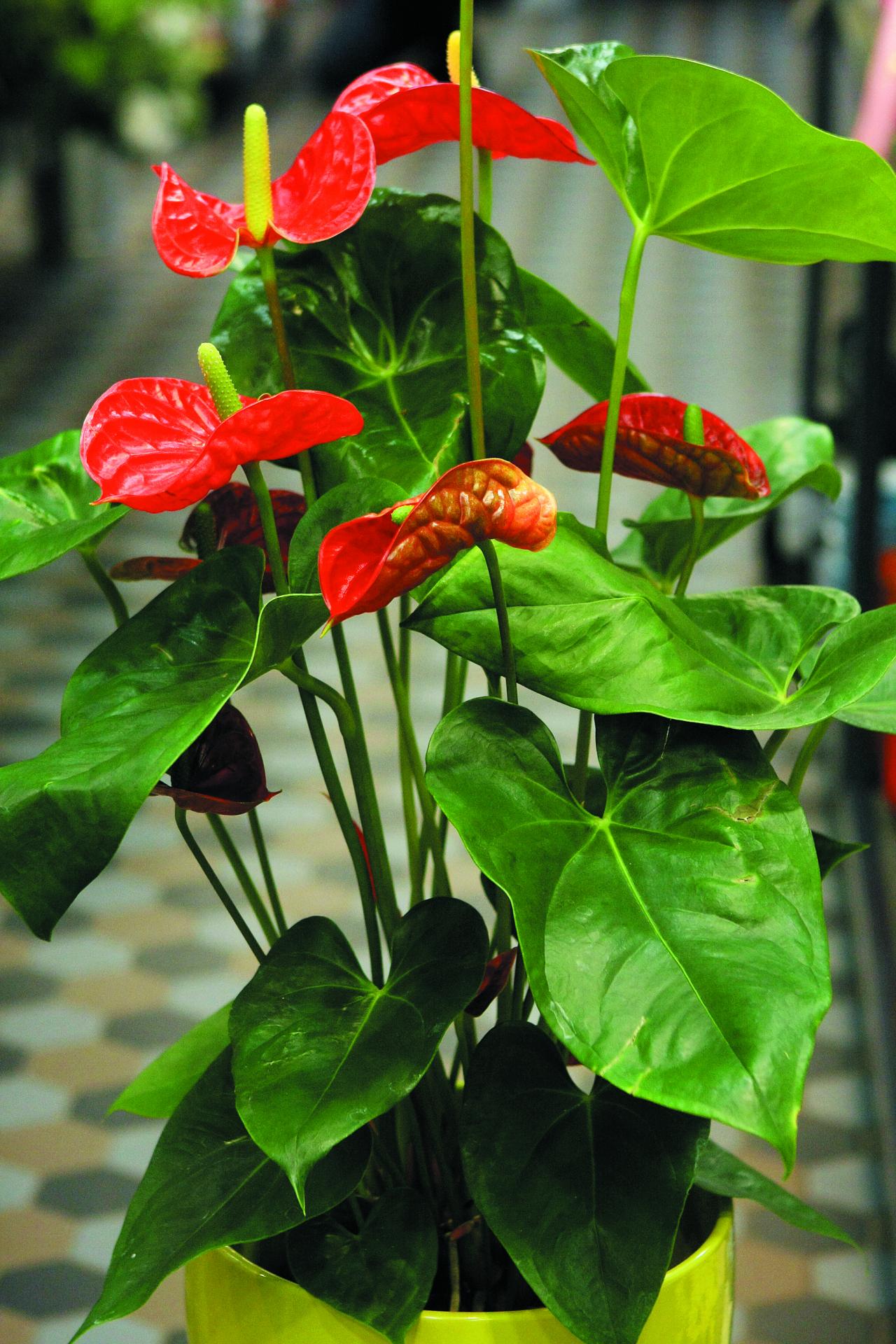 Ziedu veikalos var iegādāties gan grieztus antūriju ziedus, gan antūrijas podos, kas audzējamas kā telpaugi.