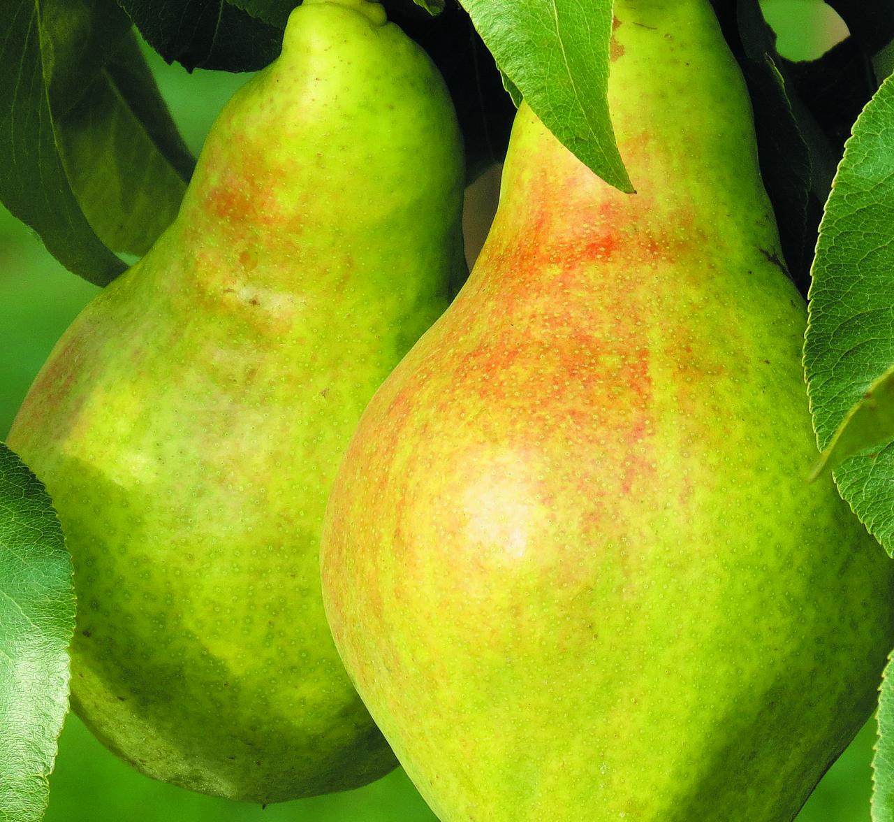 Jaunums. Dārzkopības institūta šķirne Lauriņa ir gan ražīga, gan augļu kvalitāte katru gadu teicama. Pat vēsās vasarās. Sākot no septembra, šķirnes bumbierus var grauzt, noraujot no koka, – saldums ir pietiekams. Tomēr savu izcilību augļi sasniedz, kad tos dažas dienas pagatavina istabas temperatūrā, tad tie kļūst maigi saldskābi, mīkstums – kaut kas starp kūstošu un kraukšķīgu.