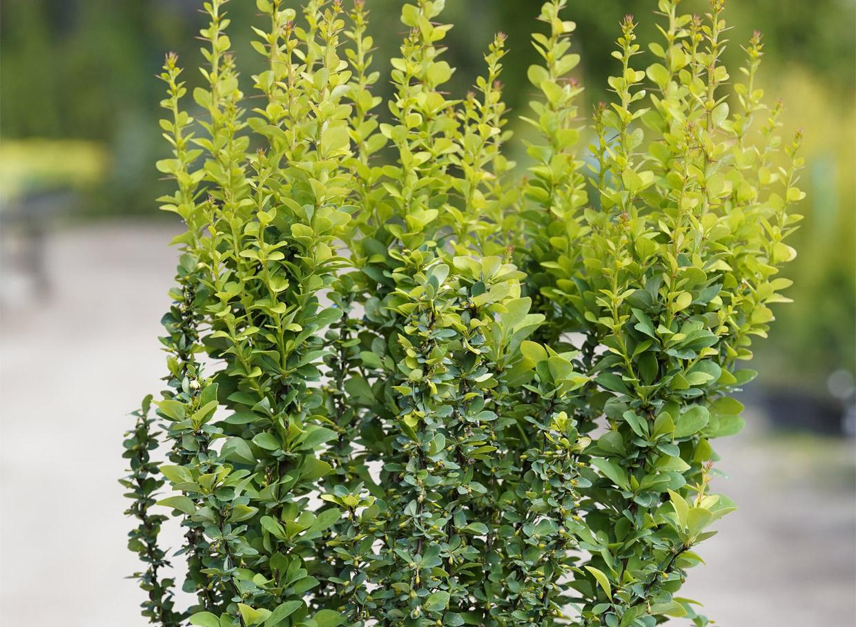 Erecta. Piemērota dzīvžogiem, jo stiepjas augumā līdz 1,5 m. Vasarā lapojums viscaur zaļš, dzinumi stāvi, stingri. Rudenī lapas nokrāsojas koši oranžas.