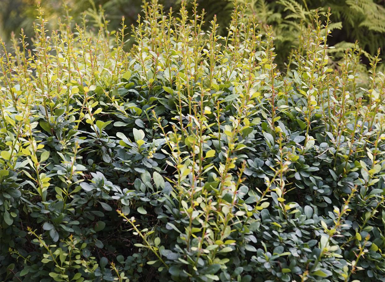 Green Ornament – lielam krūmam krāsa kļūst piesātināti zaļa, bet rudenī krūms iedegas ugunīgi sarkans. Vainaga forma – izplesta. Augstums – līdz 1 m. Augsta izturība. Līdzīga arī Green Carpet – tai vainags mazliet kompaktāks, ne tik izplests. Arī piemērota dzīvžogiem un apstādījumu laukumiem.