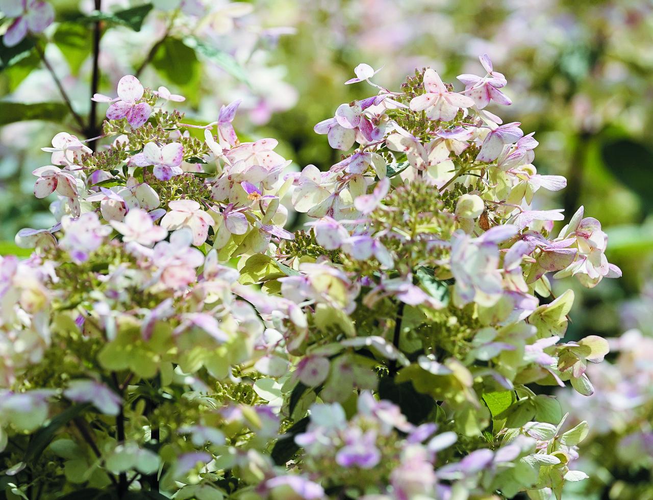 Early Sensation (Bulk). Viena no agrākajām. Balti ziedi, kas vēlāk iekrāsojas rozā. Var izmantot gan kā soliteraugu, gan dzīvžogiem.