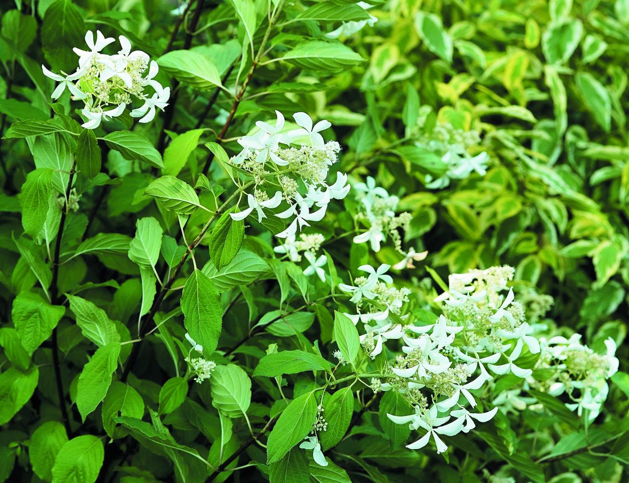 Levana. Viena no visaugstākajām hortenzijām, augums sasniedz 3 m. Ziedi atšķiras no citām sugas māsām – tie izskatās kā mazas, draiskas zvaigznītes, kas izkārtojušās līdz 50 cm garās konusveida skarās.