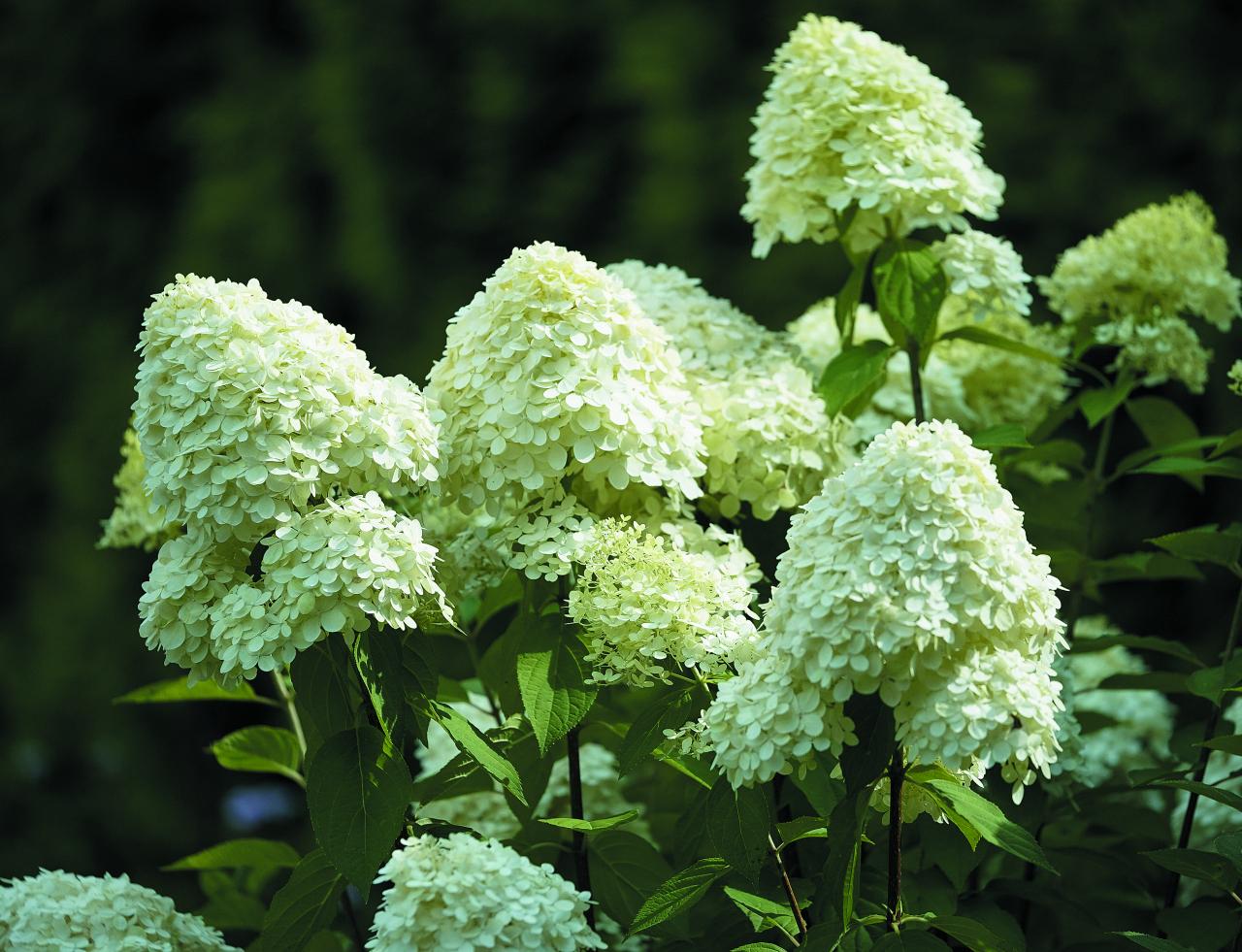 Limelight. Zied bagātīgi, ar stāviem, līdz 3 m augstiem dzinumiem. Efektīgi izskatās dzīvžogos, arī atsevišķos stādījumos. Sākumā ziedi ir zaļgani balti, tad balti, bet vēlāk iekrāsojas viegli rozā.