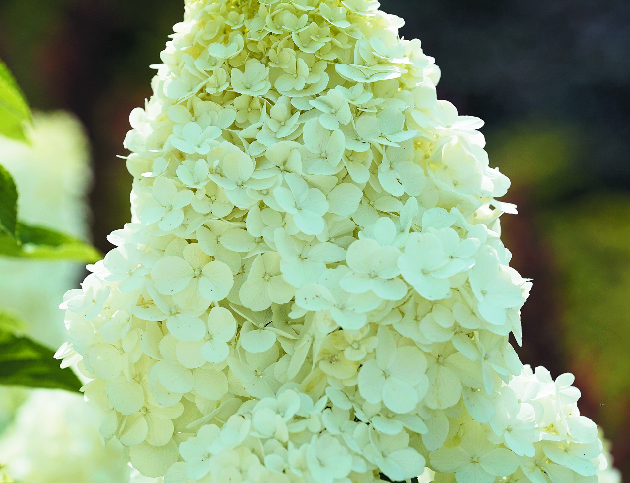 Polar Bear. Ļoti grezni, cēli ziedi. Krūms var sasniegt 1,5 m augstumu, vainags noapaļots. Ziedi ir dzeltenzaļi, balti, bet rudenī iekrāsojas rozā. Zied no jūlija līdz septembrim.