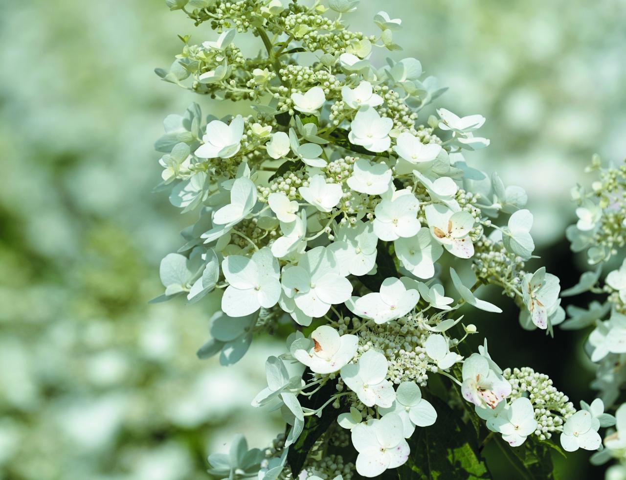 Silver Dollar. Sasniedz 2 m augstumu. Tai raksturīgi stingri zari, ziedi ir balti, pat caurspīdīgi.