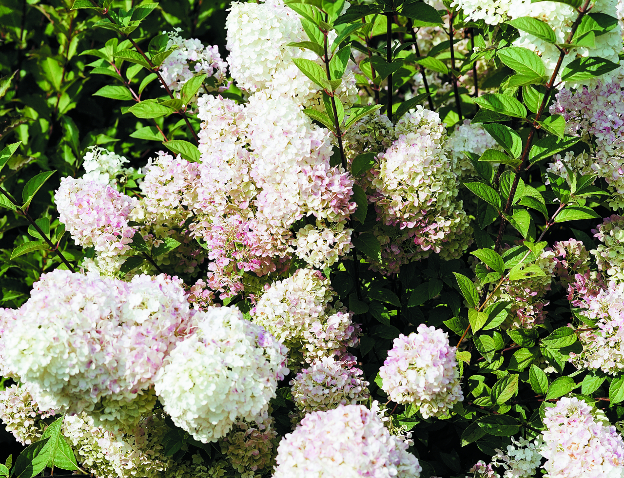 Sundae Fraise. Maigi rozā, ļoti pareizi ziedi. Veidojas blīvas ziedkopas, krūma augstums – no 1,2 līdz 1,5 m. Ja šī hortenzija iedēstīta mālainā zemē, tā perfekti demonstrē savu īpašo raksturu.