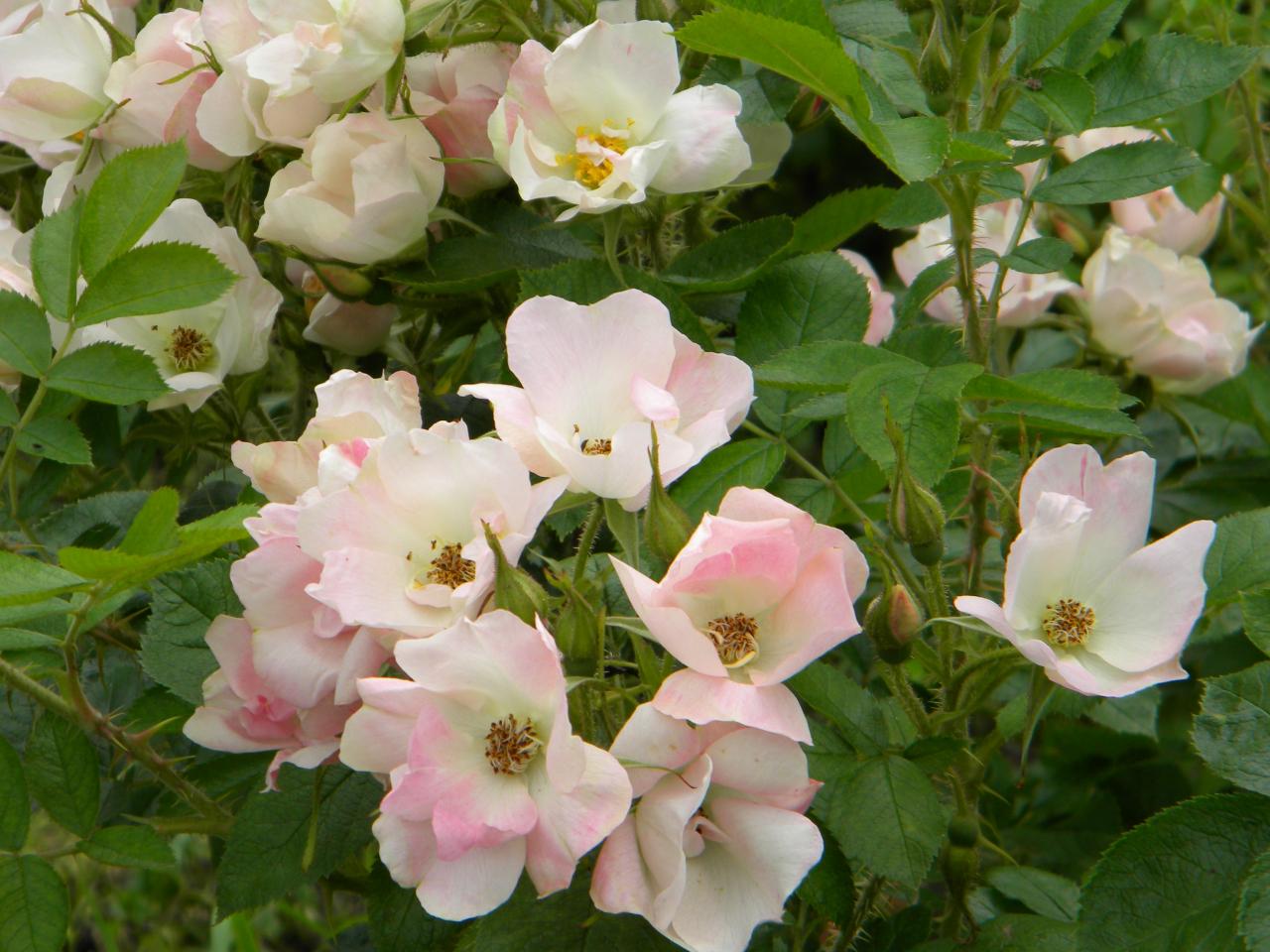 Ābeļzieds. Krokainās rozes Rosa rugosa šķirne, izveidota 1968. gadā, autori – Dzidra Rieksta un Ilmārs Riekstiņš. Eiropā joprojām iecienītākā un pieprasītākā. Krūms piramidāli izplests, līdz 1,5 m augsts. Īpašais: ziedi sakārtoti lielās ziedkopās pa 5–15 un pat pa 25 ziediem vienkopus. Sāk ziedēt jūnijā pirmajā pusē un zied līdz salam. Ļoti bargās ziemās viengadīgie dzinumi var nosalt līdz sniega līnijai.