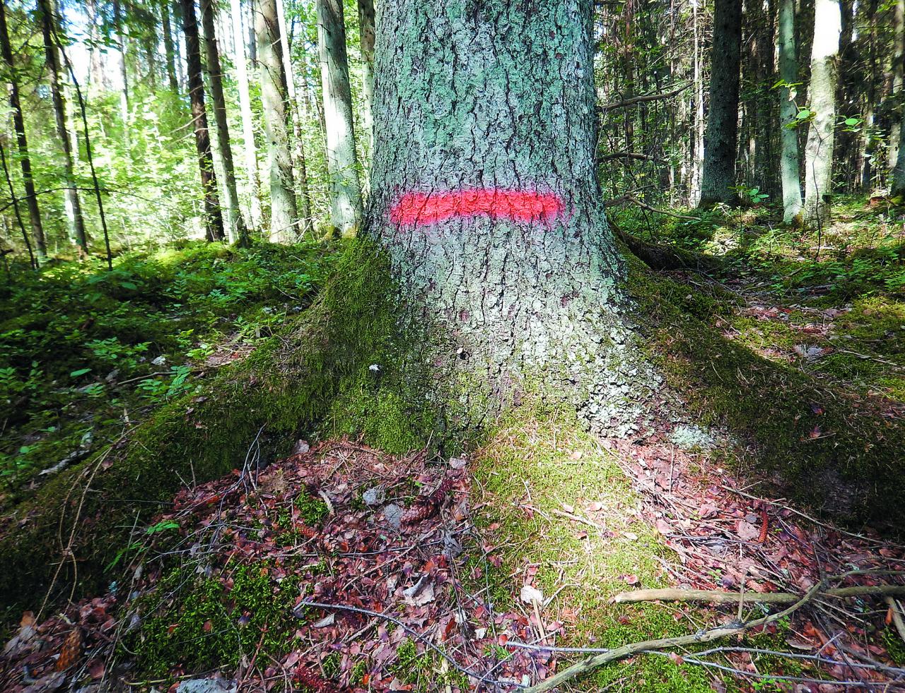 Augoša meža uzmērīšanā daudzi mērījumi un normatīvi ir piesieti tā sauktajam krūšaugstuma caurmēram – 1,3 m augstumā virs sakņu kakla. Sakņu kakls skaitās vieta pie celma, kur celma sakņu daļa pāriet stumbrā.