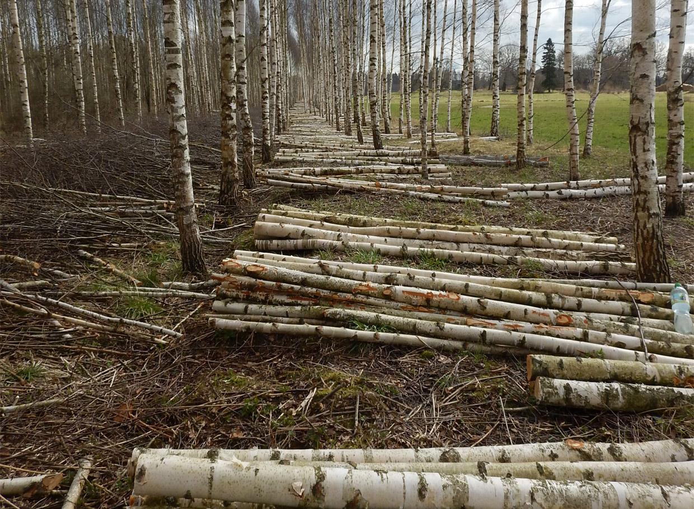 Plantāciju audze - 17 gadus vecs bērzu stādījums lauksaimniecības zemē. Vidēji gadā te vienā hektārā nācis klāt ap 10 kubikmetriem koksnes. Pirmajā kopšanas cirtē iegūti aptuveni 60 kubikmetri koksnes no hektāra. Tik daudz, cik ietilpst apmēram divās kokvedēju fūrēs.