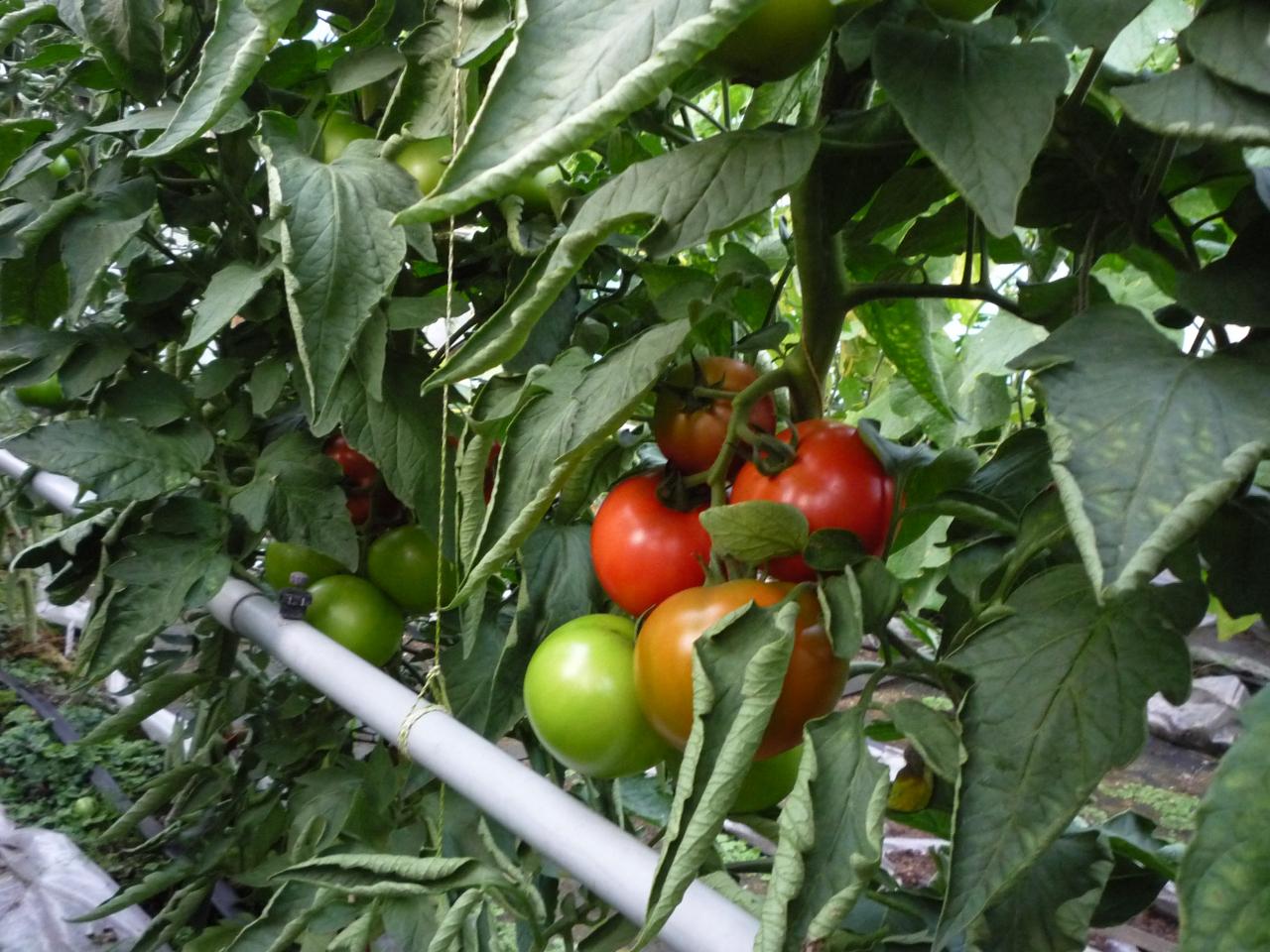 Šādas saritinājušās lapas liecina, ka tomātiem ir karsti, bet gaisa mitrums ir par zemu.