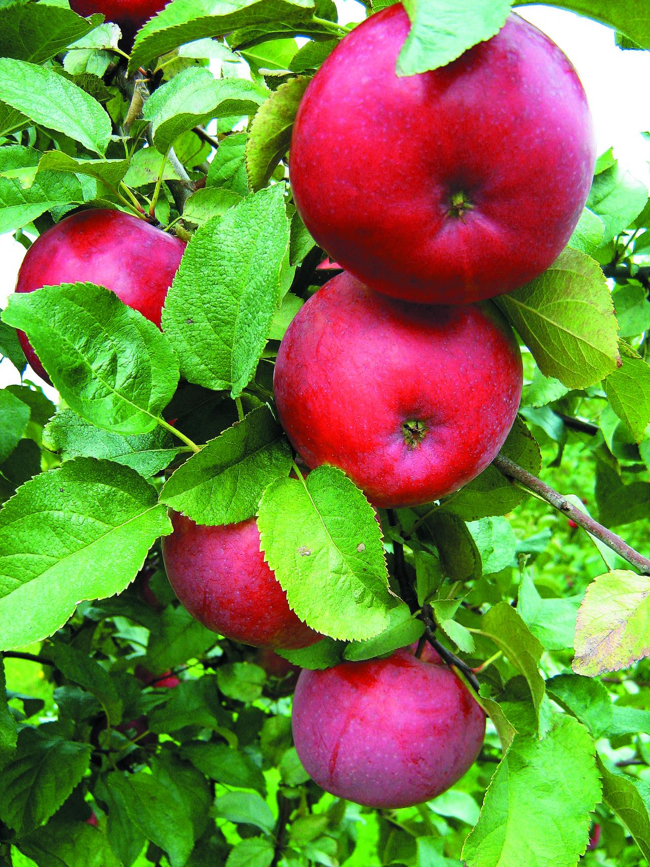 'Dace'. Vislabākā jaunā Latvijas rudens un agra ziemas ābeļu šķirne. Izturīga pret kraupi, augļi pašizretinās. Āboli vienmēr lieli, mīkstums stingrs, sulīgs, saldskābs ar salduma pārsvaru. Āboli glabājas līdz janvārim, februārim. Stabilās, labās ražības un vieglās kopšanas dēļ arī Igaunijā atzīta par perspektīvu šķirni.