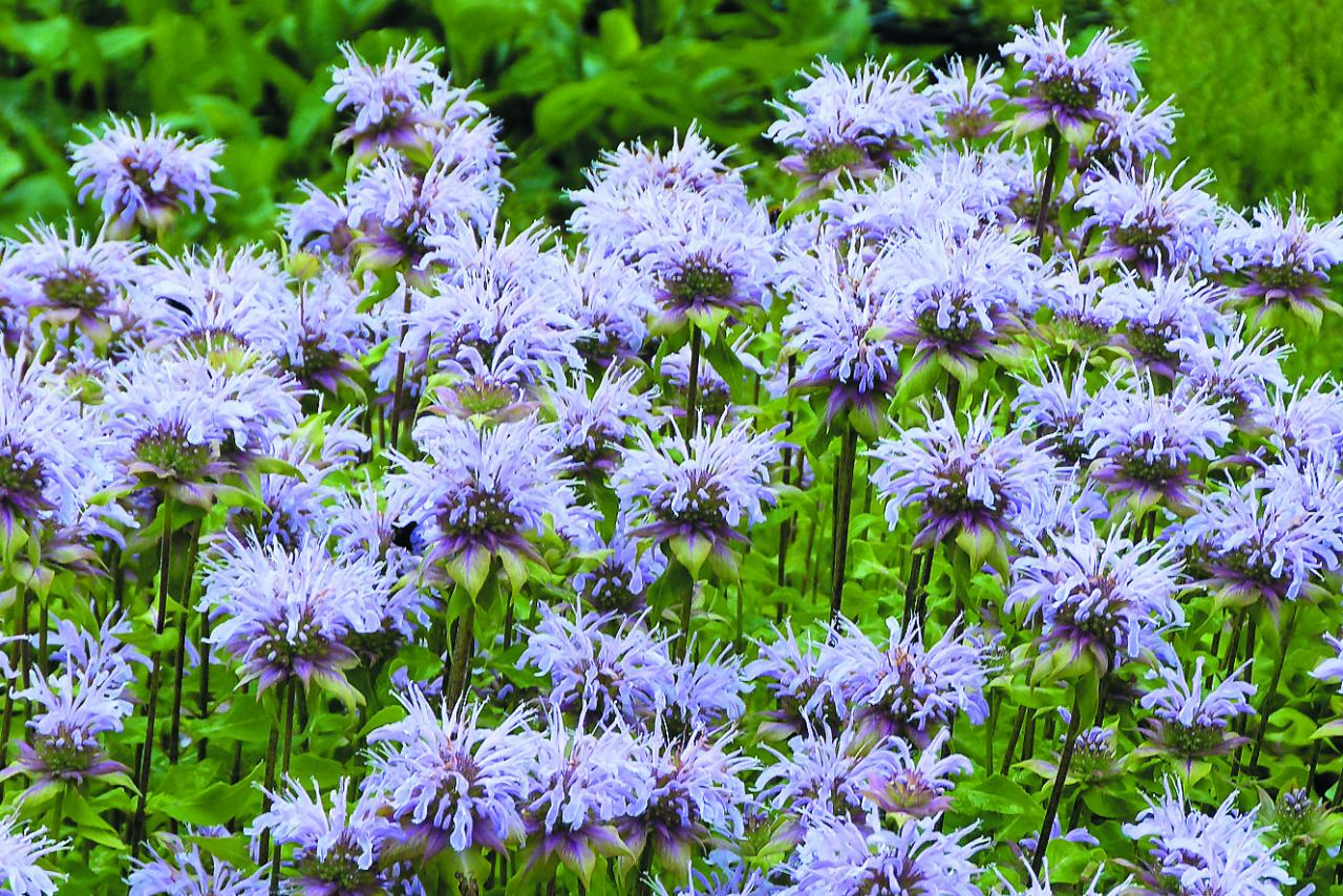 Stiebrainā monarda Elsie's Lavender. Gaiša– zilganpelēki violeta– un vēlāka: kad pārējās jau sāk noziedēt, tad šī tikai veras vaļā. Zied no jūlija vidus līdz septembra sākumam. Ļoti kompakta un ļoti noturīga šķirne. Augums 110cm, veido kompaktu, biezu ceru.