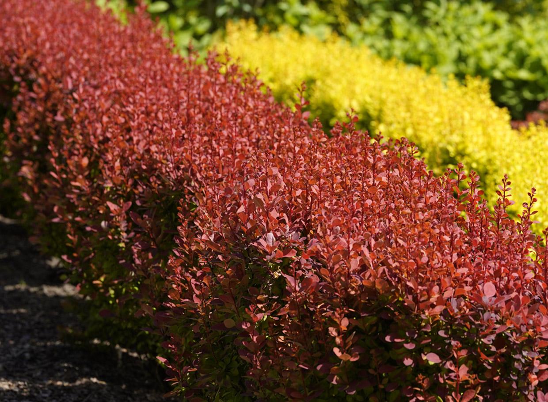 Orange Rocket. Arī viena no populārākajām bārbelēm – izteikti vertikālas, stabveida formas, tāpēc piemērota dzīvžogiem. Augums – līdz 1,2 m. Sarkanīgi oranžs lapojums visu sezonu, kas rudenī iekrāsojas vēl košāks. Augstākā ziemcietība no visām bārbelēm.