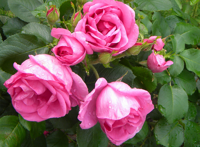 Īpašā Lidija Freiman.Ziedi ir ļoti, ļoti lieli, 10–12cm diametrā, puspildīti, spilgti purpurrozā, ļoti smaržīgi. Tā ir pirmā Latvijā radītā parka rozes šķirne, autori– Roberts Āboliņš (Iedzēni) un Aleksandrs Maizītis.