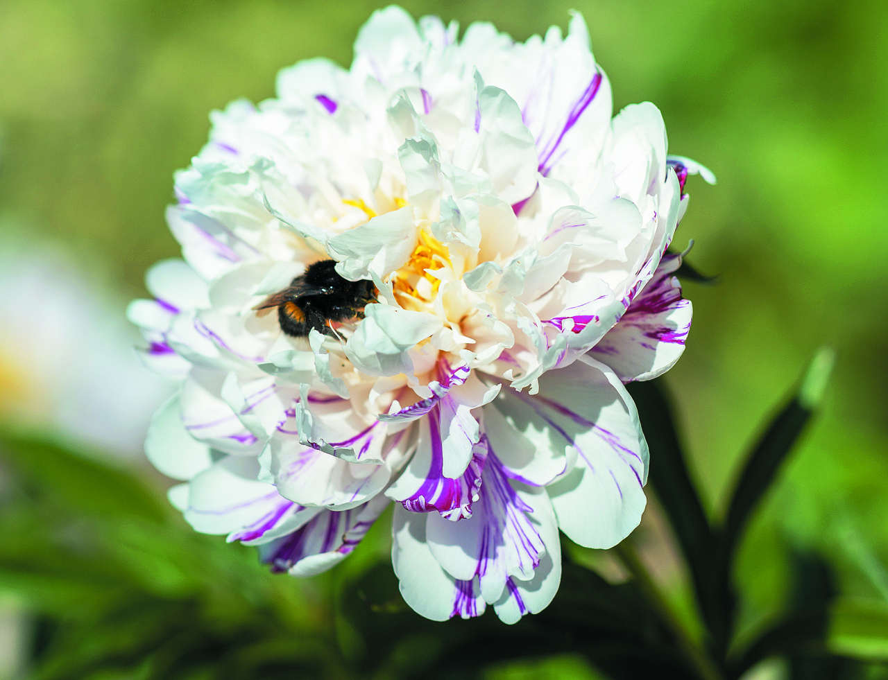 Candy Stripe. Puķe – dizaineru sapnis, citi pat nepazīst, ka tā ir peonija. Divkrāsu – krēmbaltas ziedlapiņas ar platām aveņsarkanām svītrām. Maiga smarža.
