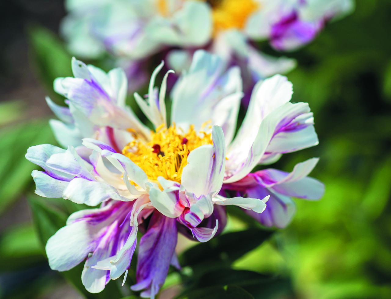 Circus Circus. Puspildīts, balts zieds ar sarkanrozā maliņām, šaurām, sašķeltām, kā virpulī savērptām ziedlapām un neregulāru bordo krāsas svītrojumu. Vidū dzeltenu putekšņlapu pušķis, kas izskatās kā plīvojoši dejotājas svārciņi. Viegls aromāts. Zieda diametrs ap 10 cm.