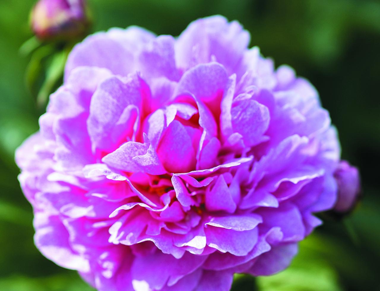 The Fawn. Šajā vārdā Kanādā, no kurienes cēlusies šķirne, sauc briežu mazuļus. Rozā peonijas ziedlapiņas klātas ar lāsumiem, kas līdzinās briedēnu kažociņa krāsojumam.