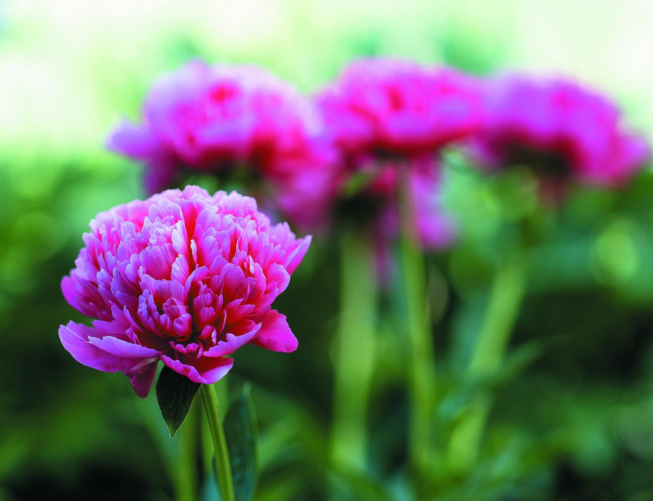 Lorelei. Bagātīgi pildīta un ilgstoši ziedoša šķirne. Zieds sākumā lašsārts, tad kļūst aprikožoranžs. Ziedneši gari, ļoti izturīgi.