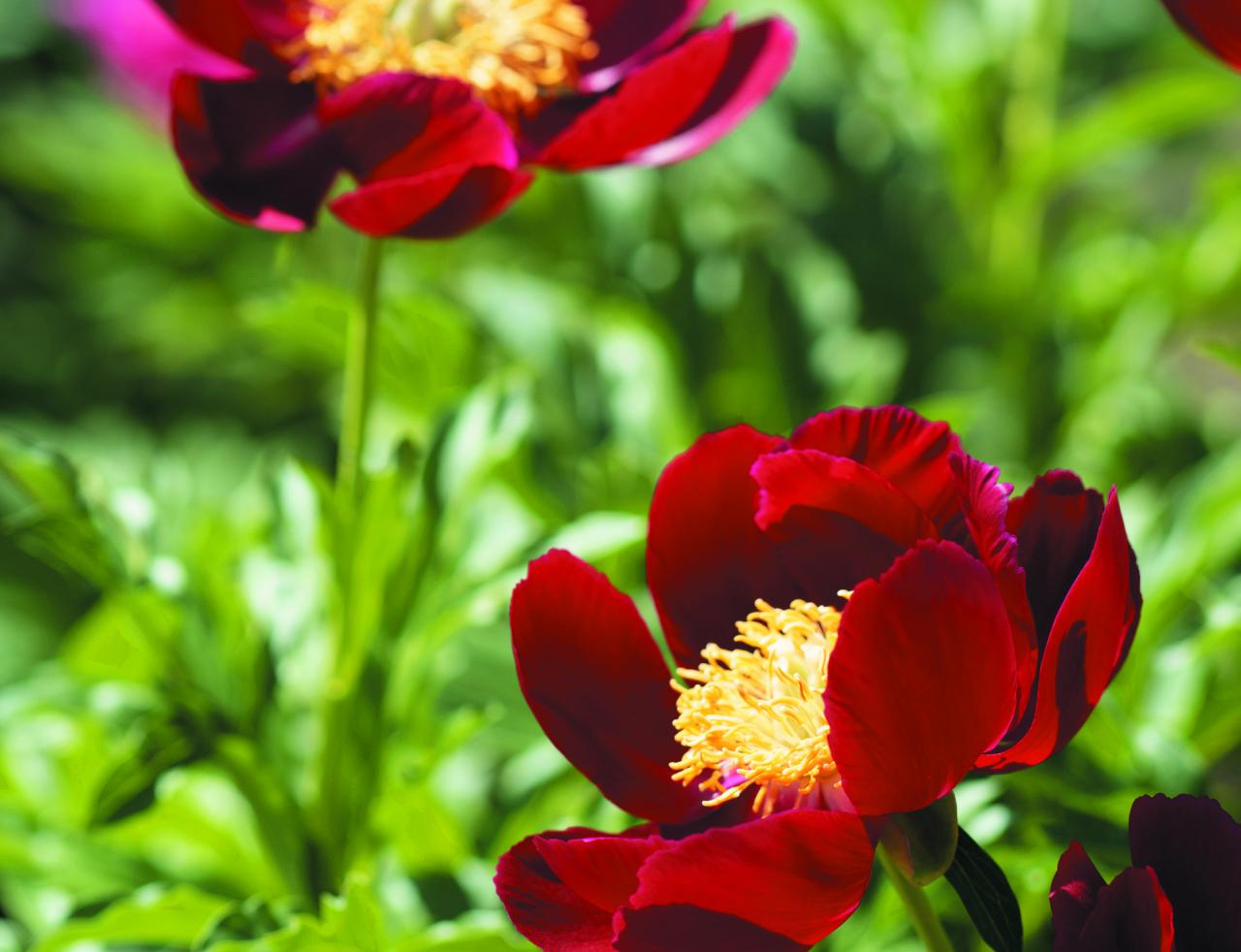 Mahogany. Ziedi vienkārši, sarkankoka krāsā, ar lielu dzeltenu putekšņlapu rozeti. Agrīna šķirne ar saldenu smaržu. Gari, stingri ziedneši ar īpatnēji šķeltām lapām.