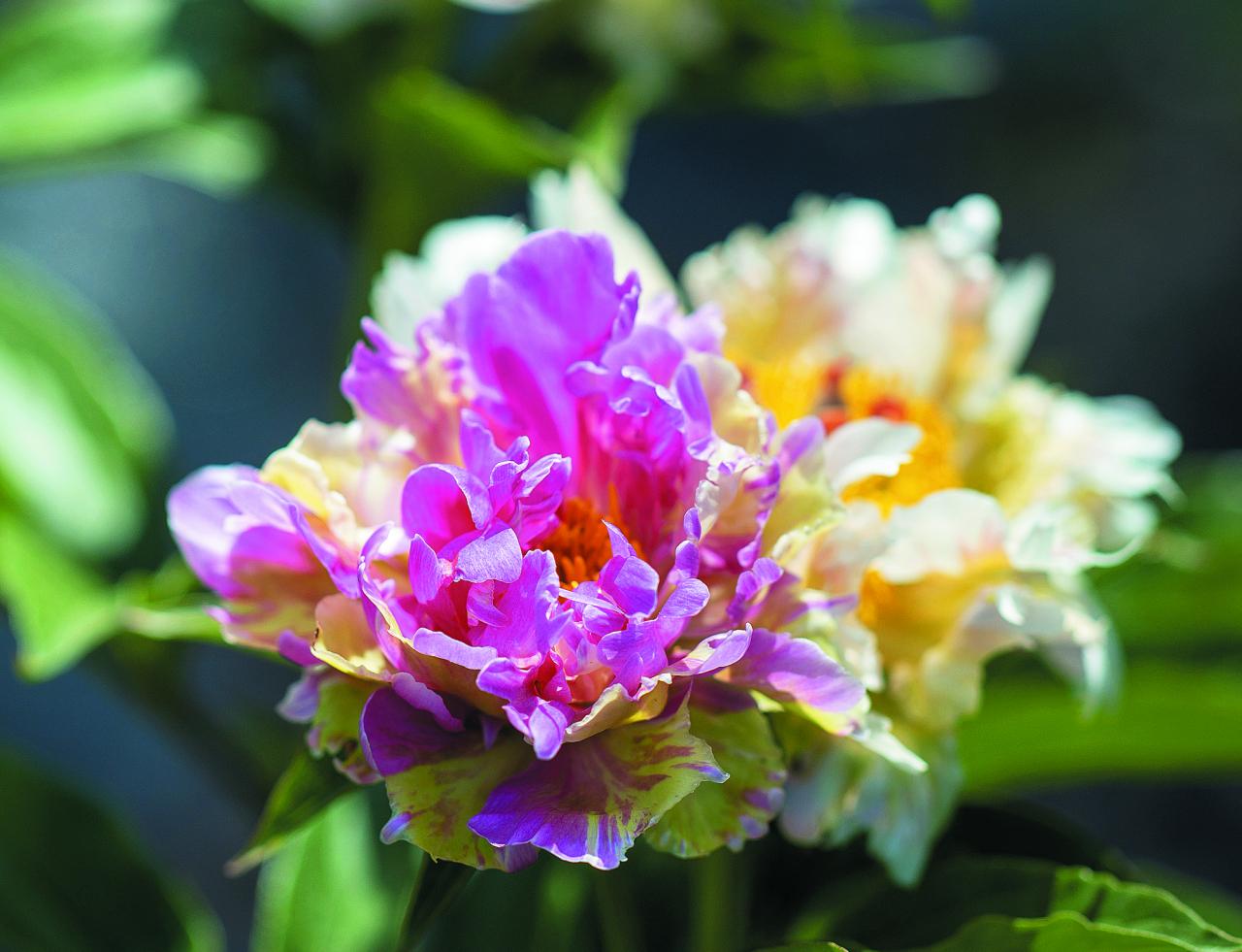 Pink Spritzer. Krāsu un formu daudzveidība – ziedlapas izlocītas, viļņainas, ar sārtām, zaļganām, krēmbaltām joslām. Vidēji ziedoša šķirne ar nelielu smaržu.