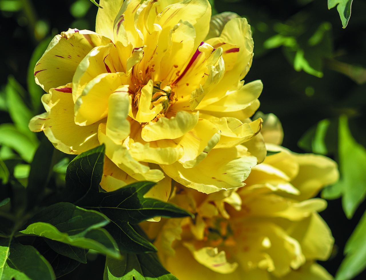 Singing In The Rain. Ziedi sākumā oranžīgi, vēlāk kļūst dzelteni ar sārtām svītrām, ilgstoši zied. Krūms liels, apaļš, lapas zaļas līdz pat salam.