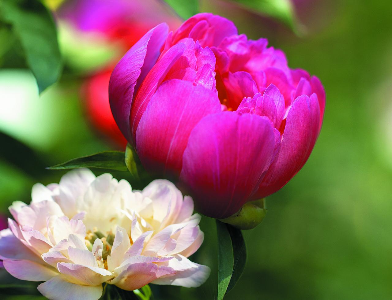 Soft Salmon Saucer. Tases formas lašrozā ziedi ar lielām ziedlapiņām. Plaukstot zieds ir rozā, izplaucis – gaišs, un krūmā divi tādi līdzās izskatās kā dažādu šķirņu pārstāvji.