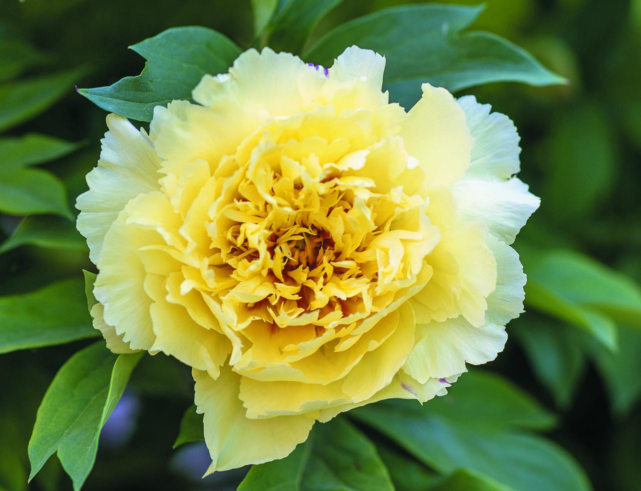 Sonoma Halo. Katra dārza lepnums – reta un dārga amerikāņu selekcionāres Airīnas Tolomeo 2006. gadā radīta šķirne. Pirmā pilnībā pildītā peonija dzeltenā krāsā, diametrs līdz 15 cm. Ziedkopas pildījums ir tik piesātināts, ka padara šo šķirni unikālu citu dzelteno peoniju vidū. Turklāt Dzintras krūms izceļas ar prāvu augumu – 1,5 m.
