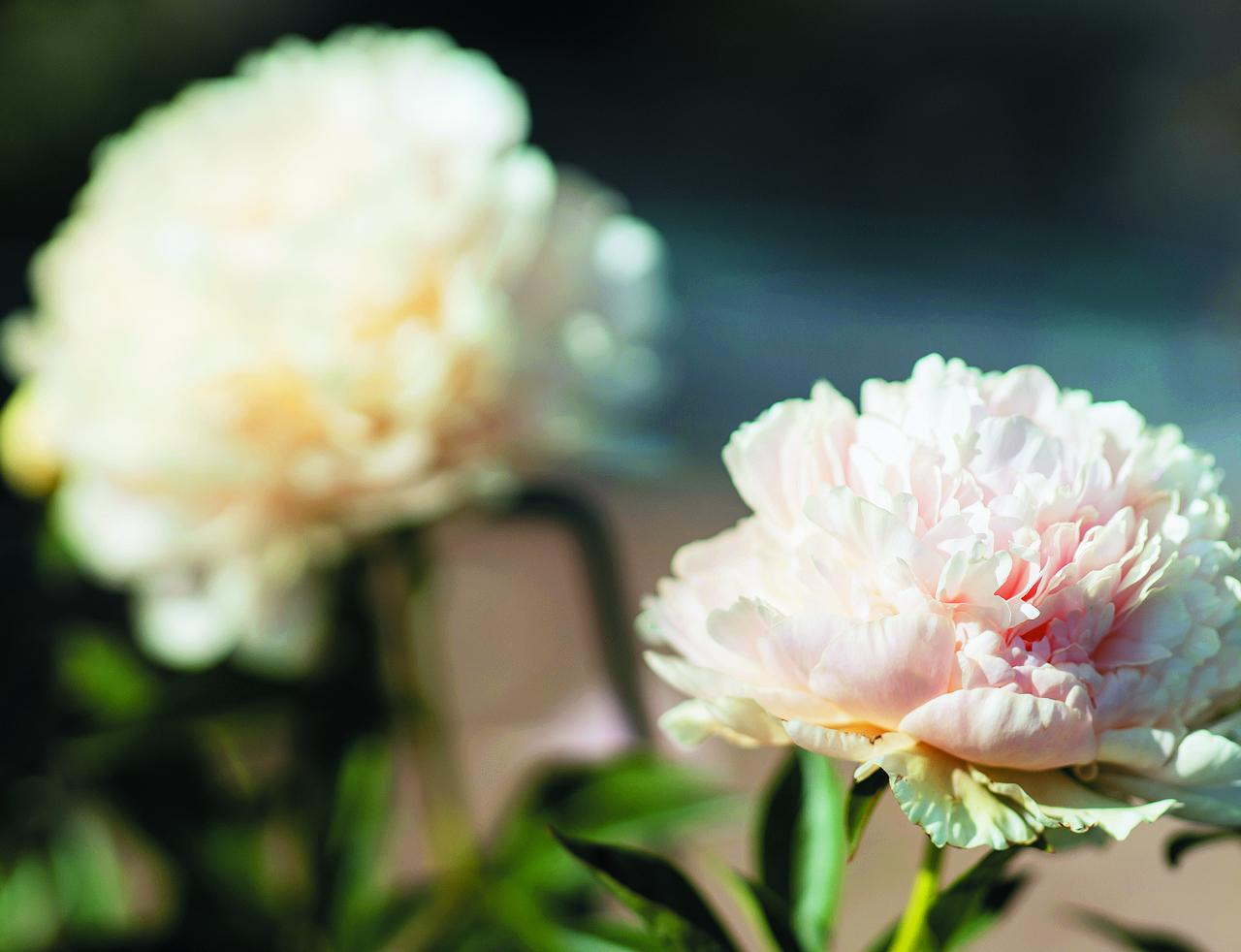 Summer Glow. Diezgan reti sastopama šķirne ar pildītiem ziediem īpatnējā iesārtā krēmkrāsas tonī. Skaista, bet aug lēni.