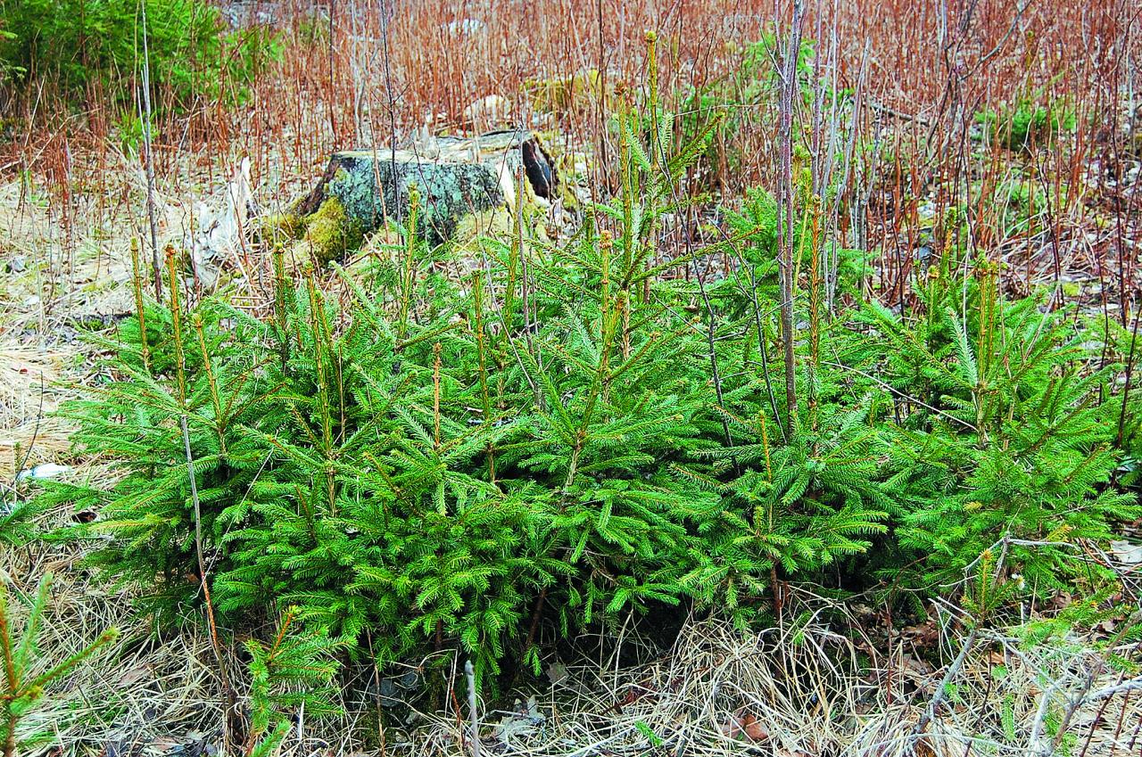 Dabiski mežā iesējies vai cilvēka rokām iesēts kociņš tiek saukts par sējeni. Par stādu kļūst tāds sējenis, kurš ir pabeidzis skolu (pieskolots)– ticis pārstādīts dobē uz lauka vai substrātā un pavadījis tur vismaz vienu veģetācijas periodu.