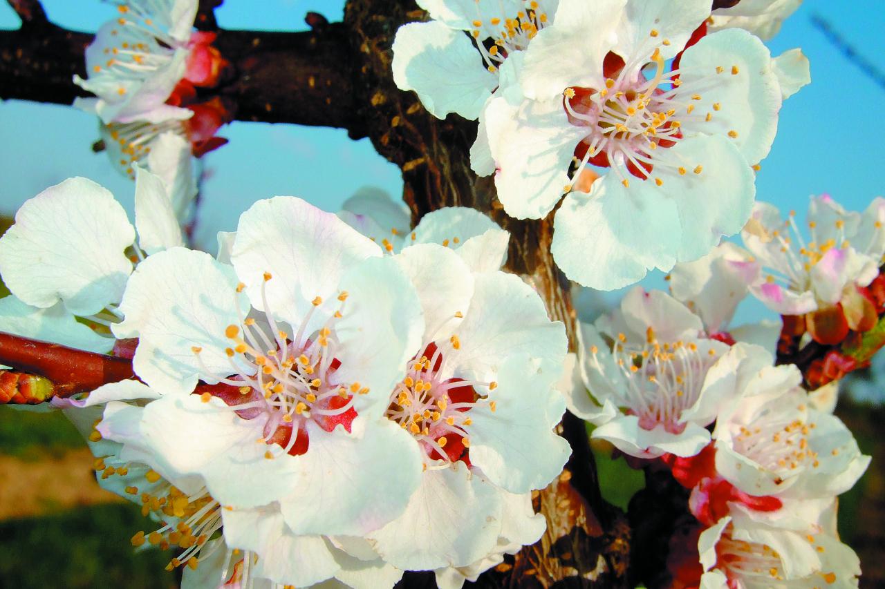 Aprikožu koks parasti ir 6–14m augsts, zied agrāk par visiem citiem! Ziedi– palieli. Kas redzējis ziedošu aprikozi, to neaizmirst nekad– balta vai maigi rozā kupena!