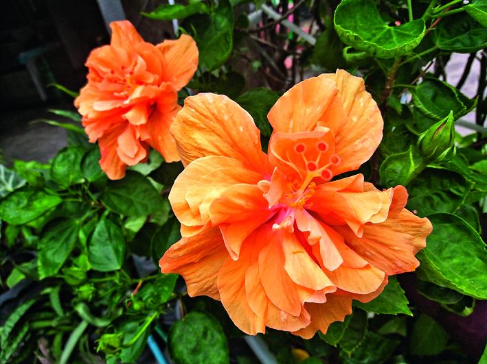 Hibiscus apricot. Sarkanās un rozā Ķīnas rozes hibrīds.