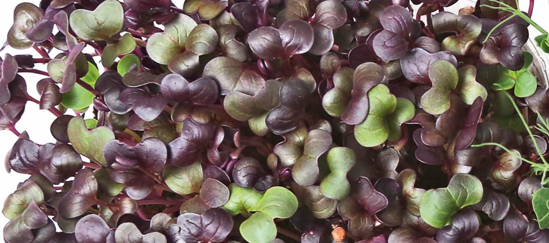 Tumšie redīsi Atkarībā no šķirnes tiem var būt arī šādas – lillīgas – lapas. Tādas izaugs, piemēram, šķirnei 'Sango'. Izaug sešās septiņās dienās.
