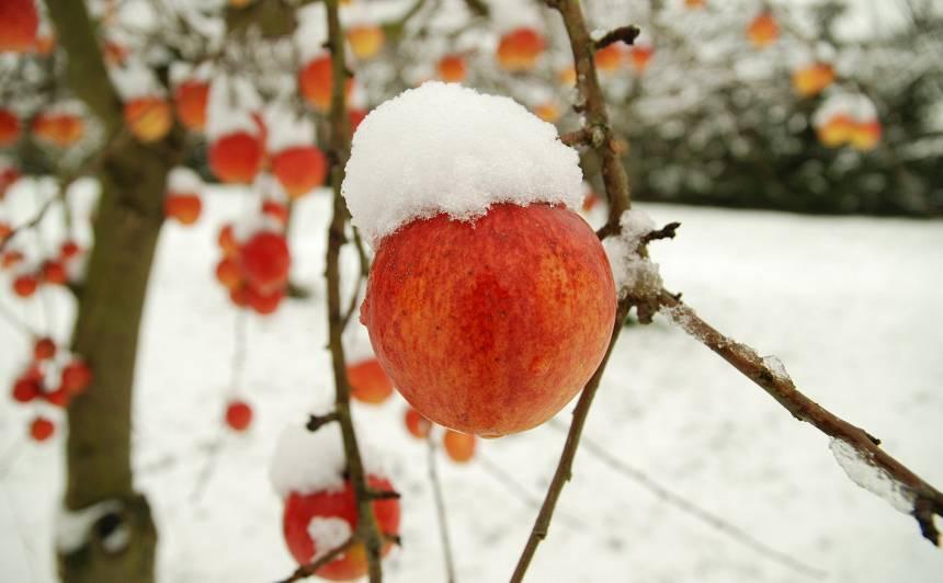 <strong>Kas decembrī jādara</strong> augļu un ogu dārzā?