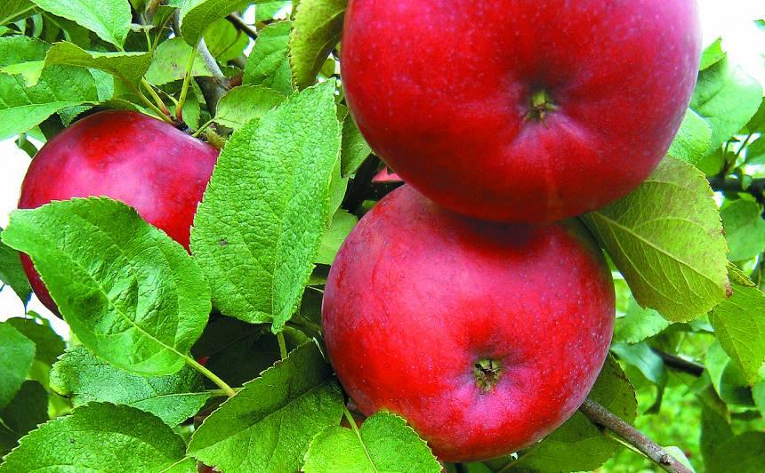 Kur palikušas garšīgās ābolu šķirnes – <strong><em>Dzidrie, Trebu, Cukuriņi</em> </strong>un citi?