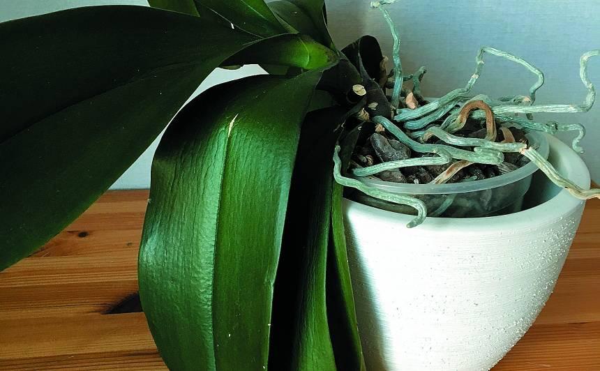 Kāpēc orhidejai ļenganas lapas?