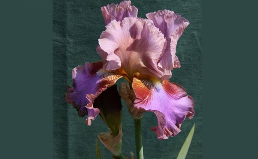 Ziemeļu orhideja – <strong>bārdainais īriss</strong>