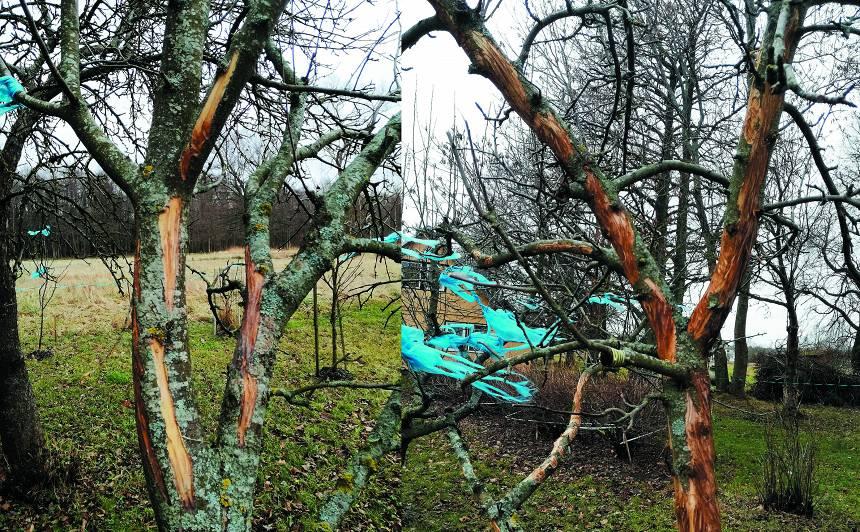 Kā glābt aļņa <strong>apskādētos kokus</strong>?