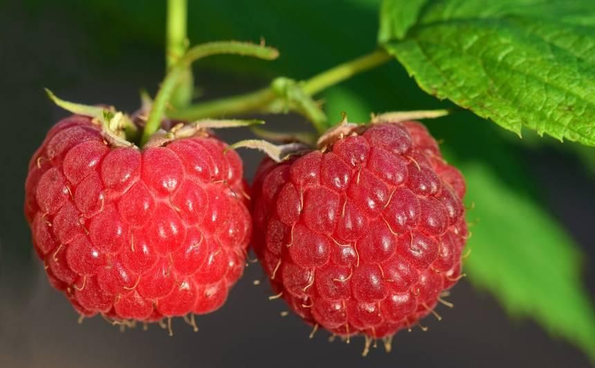 Kādi darbi augustā darāmi <strong>augļu un ogu dārzā?</strong>