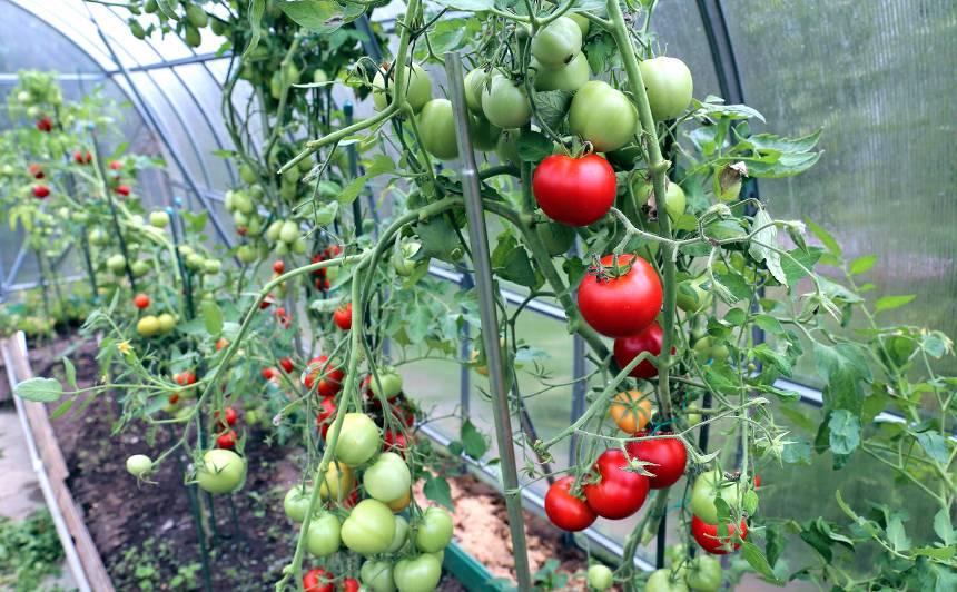 Kā palīdzēt <strong>tomātiem cīņā pret slimībām</strong> vasaras beigās?