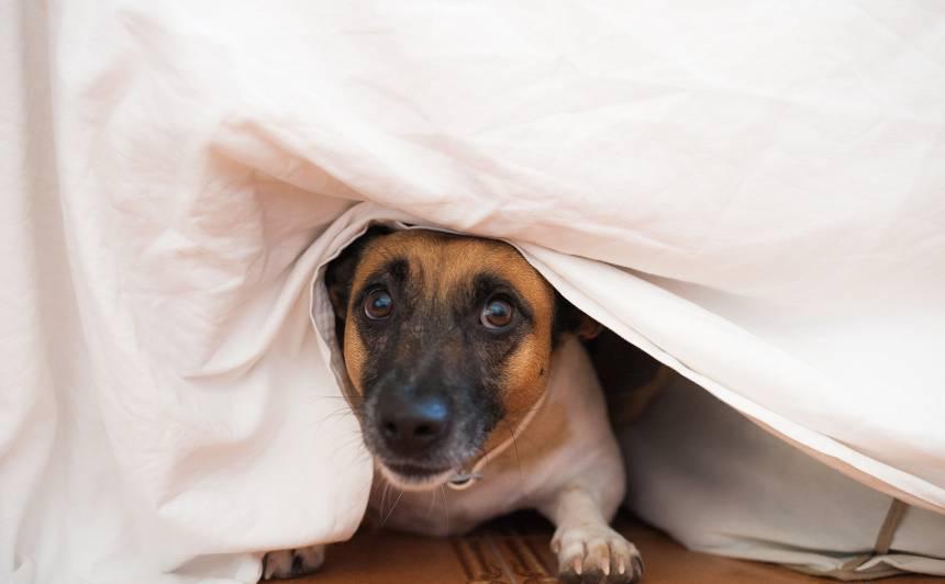 Kāpēc suņi bieži <strong>slēpjas zem gultas</strong>?