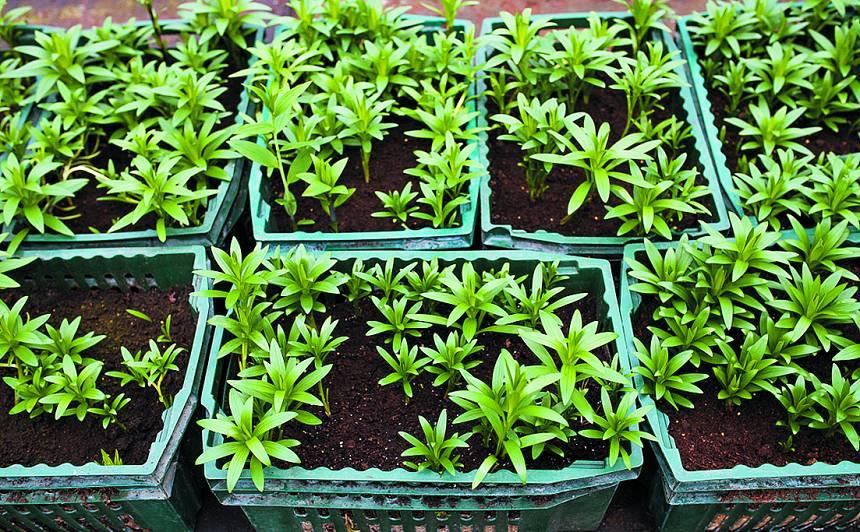 Iestādi savā dārzā <strong>jaunas lilijas!</strong>