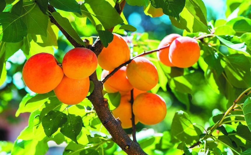 Vai Latvijā var izaudzēt <strong>aprikozes</strong>?