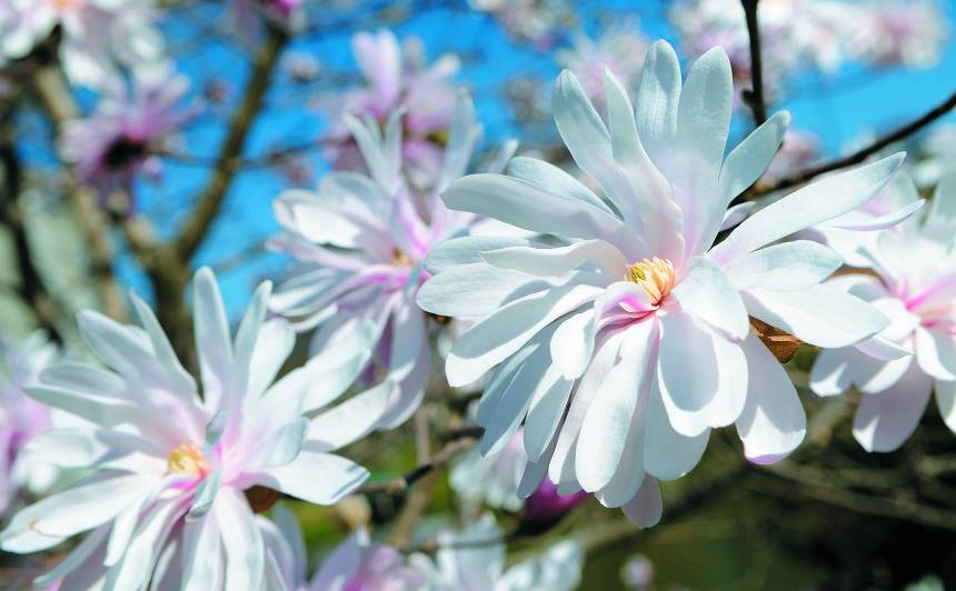 Man dārzā uzziedēja magnolija!