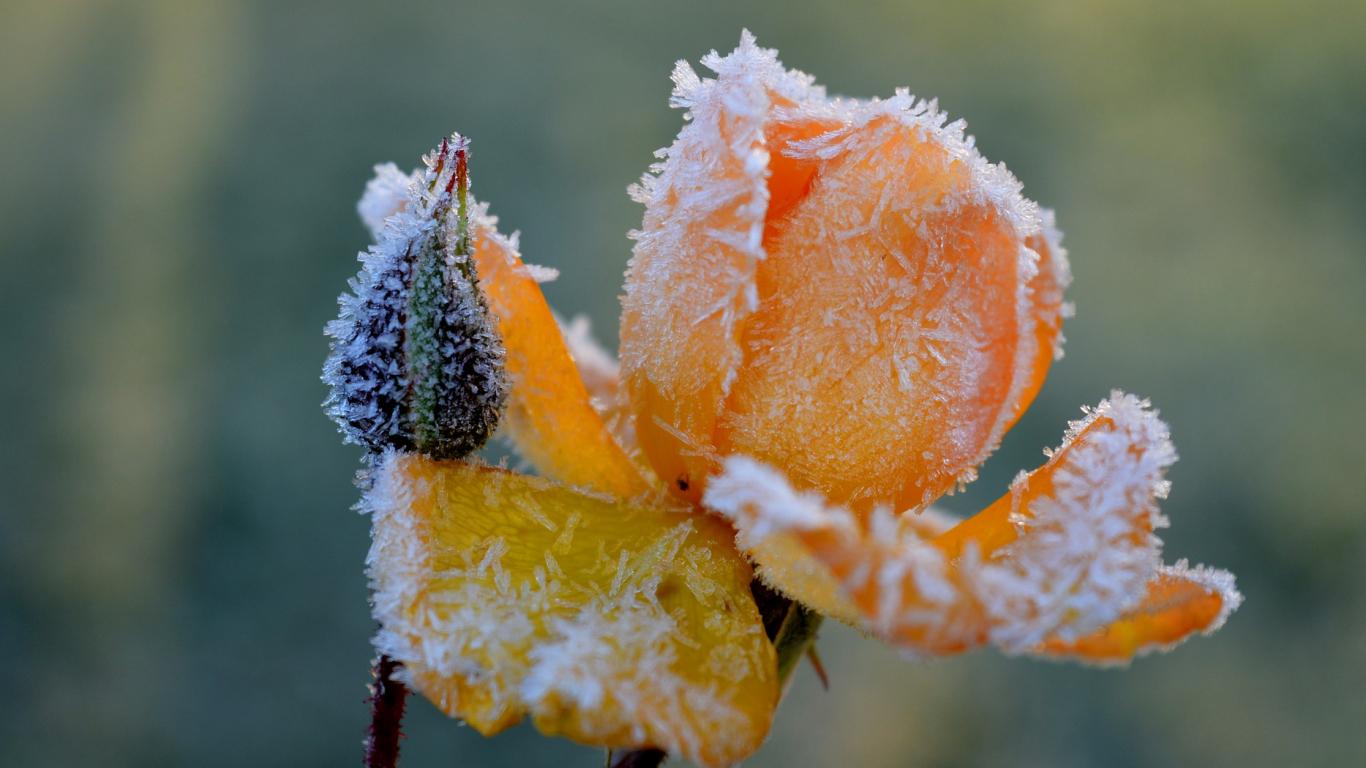 Vai <strong>rožu segšanai</strong> der kūdra?