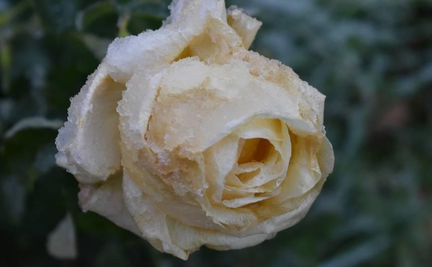 Vai rožu segšanai der kūdra?