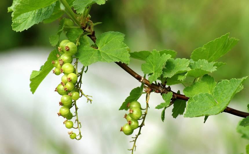 Kas maijā jādara augļu un ogu dārzā?